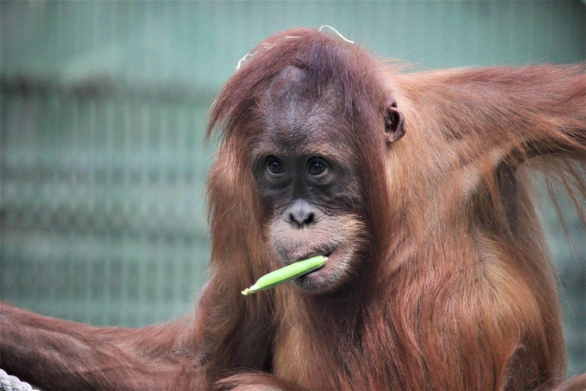 גם הקופים בגן החיות של פראג אוהבים לאכול בננות