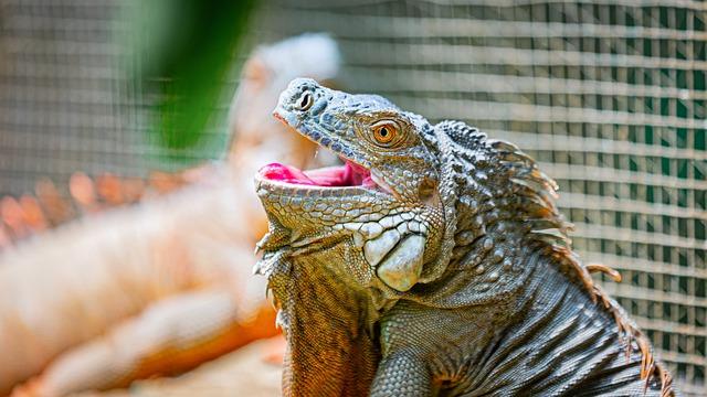 לטאת קומודו בגן החיות של פראג